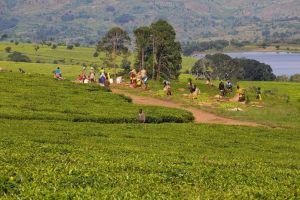 malawiteaharvest