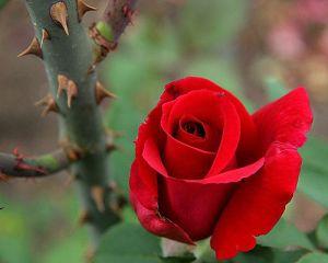roses-thorns5b15d